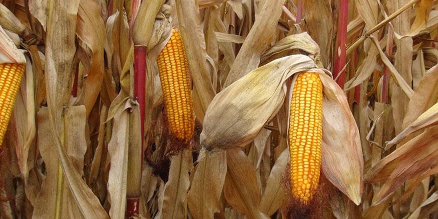 TMO 115 bin ton mısır alımı için 18 Mart'ta ihaleye çıkacak!