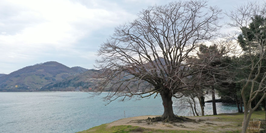 Ordu'da 140 yıllık ıhlamur ağacı anıt ağaç olarak tescillendi