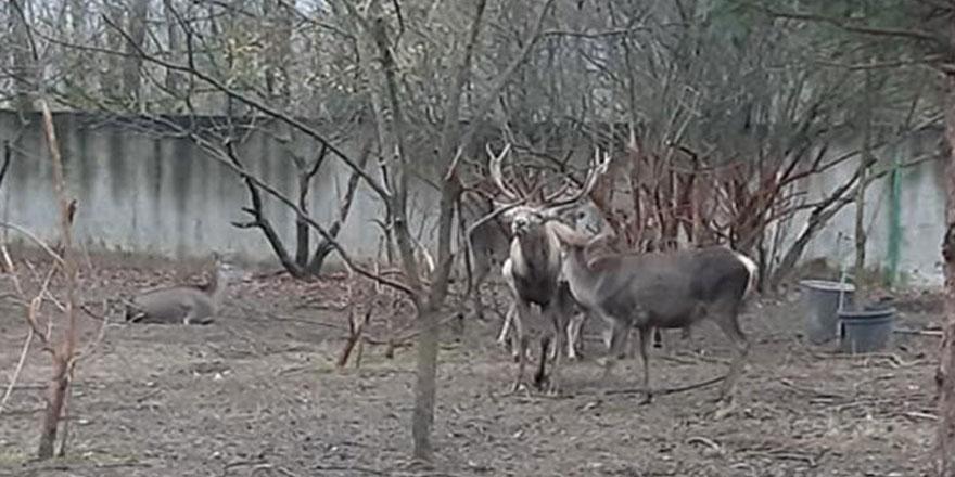 Zonguldak'ta hayvanat bahçesinden çaldığı geyiği yemişti!Yeni gelişme