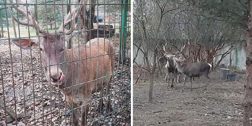 Zonguldak'ta hayvanat bahçesinde garip olay! Geyiği kaçırıp yediler