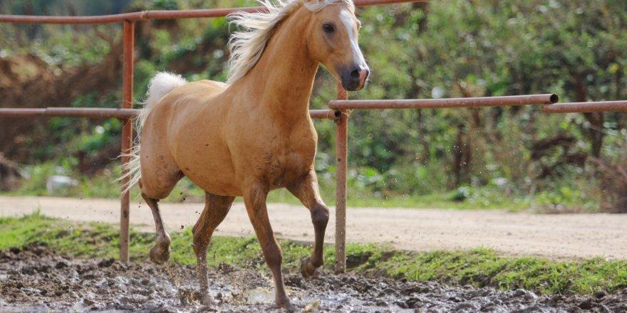 At skandalı büyüyor... Biz 100 tane sanıyorduk ama daha fazlası ortaya çıktı
