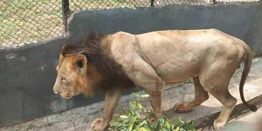 Korona ikinci kez bir aslanın canını aldı