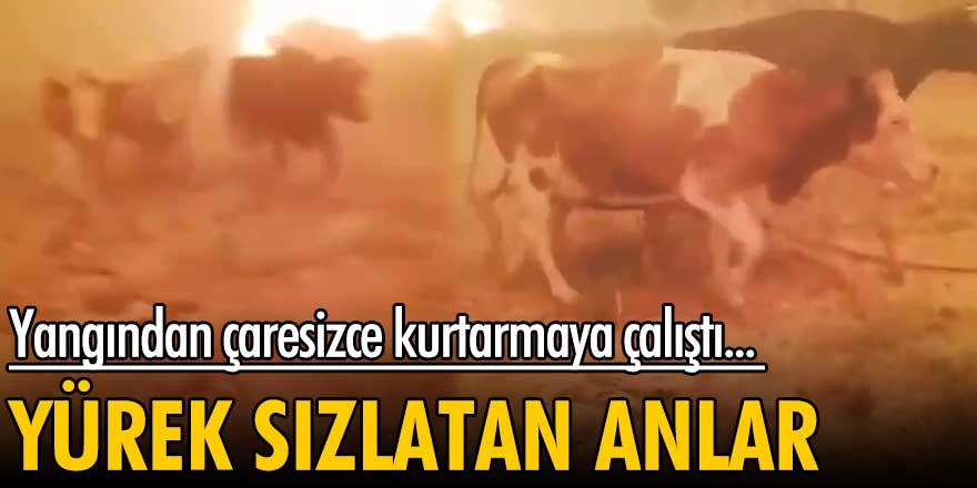 Antalya Manavgat'ta hayvanlarını kurtarmaya çalışan kişinin çaresizliği...