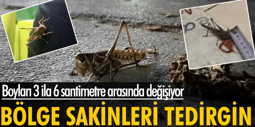 Sultangazi ve Arnavutköy sakinlerini çekirgeler tedirgin ediyor