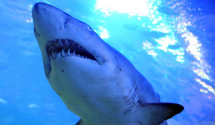 Avustralya'da köpekbalığı saldırısı
