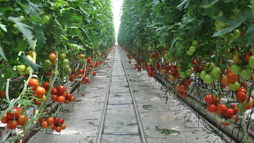 Termal serada üretip 20 ülkeye satıyorlar