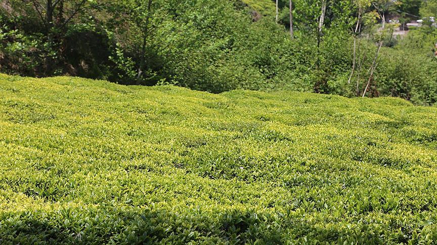 Yaş çay alım fiyatı 2,13 lira olarak açıklandı