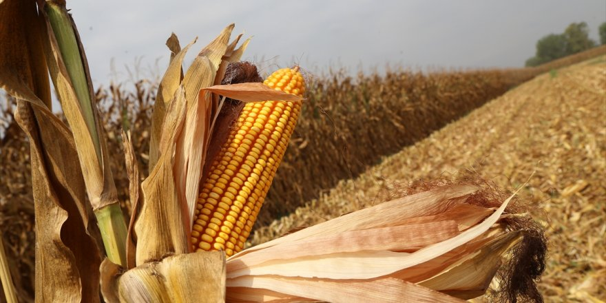 CHP'den 'mısır üreticisine destek' çağrısı!