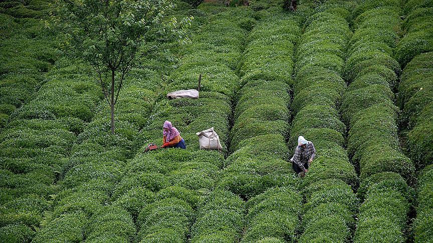 Türk çayı 86 ülkeye satıldı