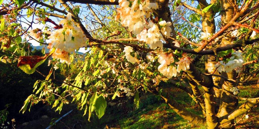 Çanakkale'de kiraz ağaçları çiçek açtı