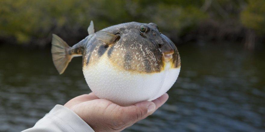 Balon balığı siyanürden 1200 kat daha zehirli!