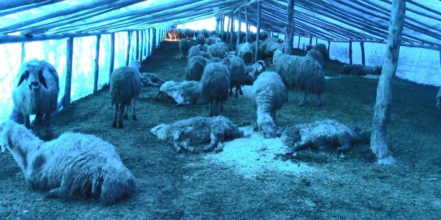 10 günde 600 koyununu kaybetti!