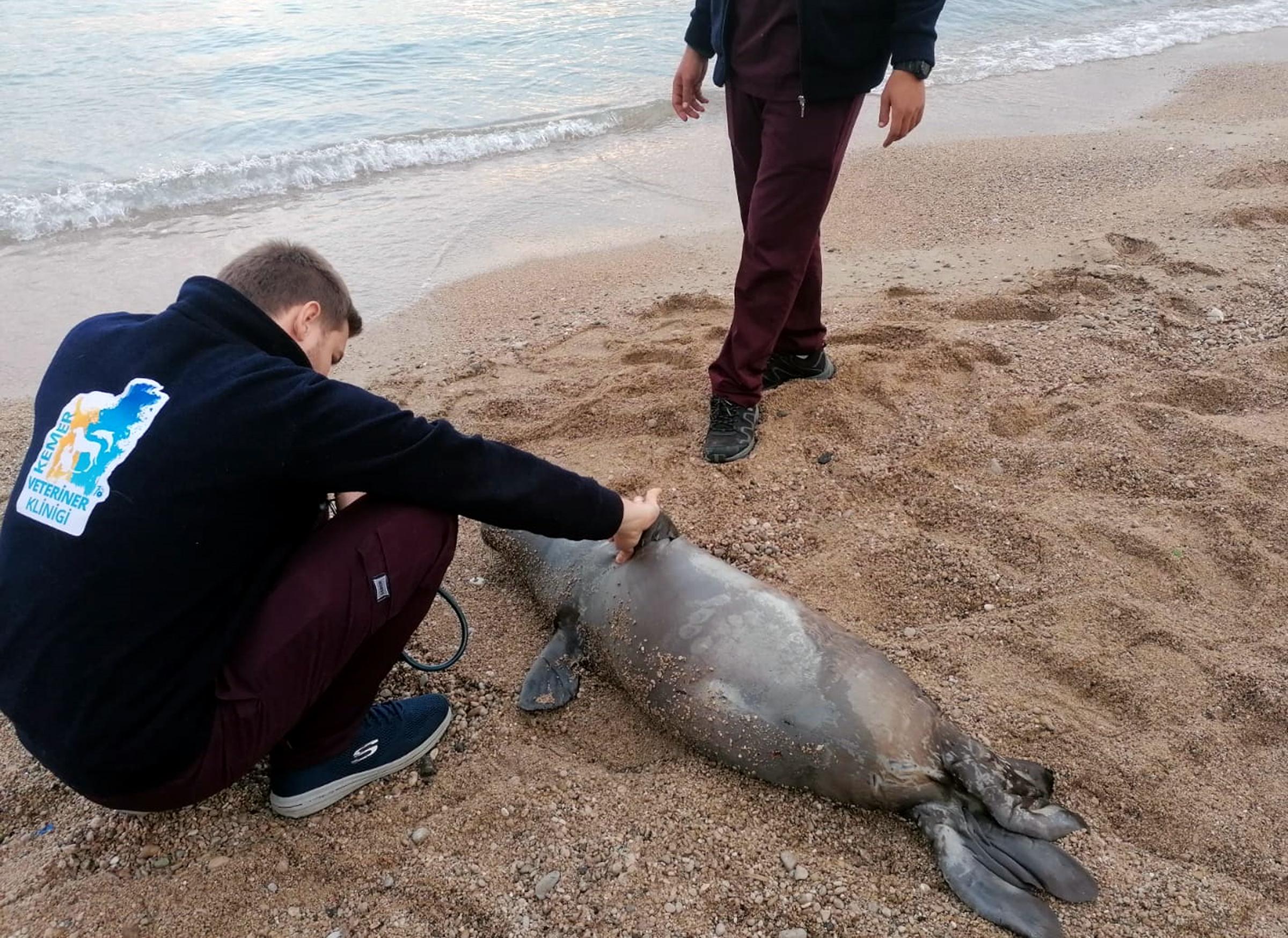 Kemer'de ölü fok kıyıya vurdu