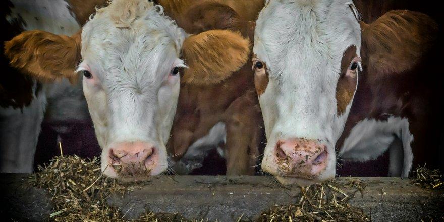 Çiftlik Bank'tan sonra Süt Bank da dolandırdı