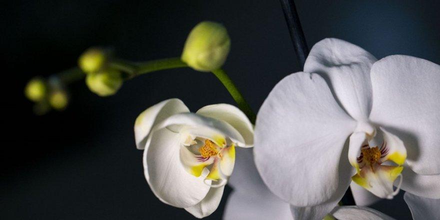 14 Şubat için 2 milyon orkide!
