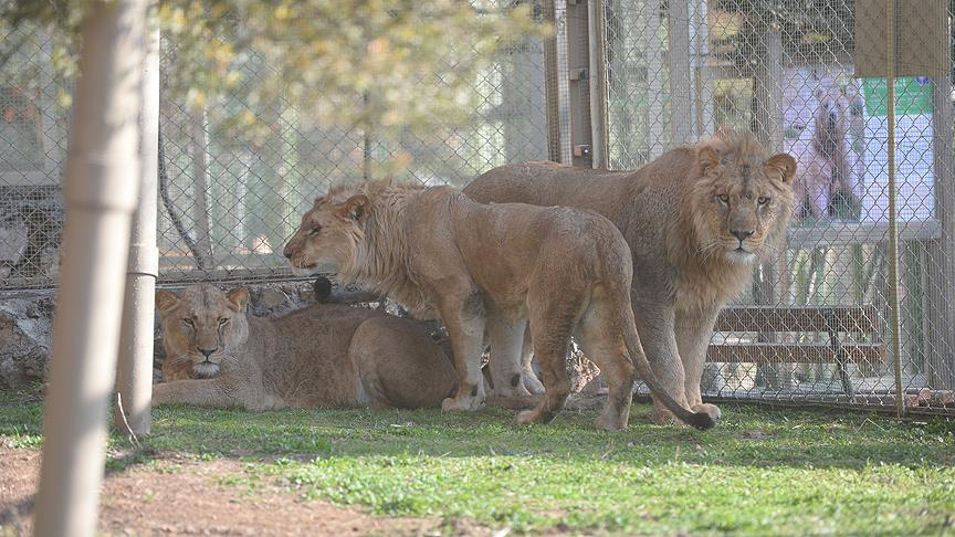 İlk 3'üz aslanlar yeni yuvalarında