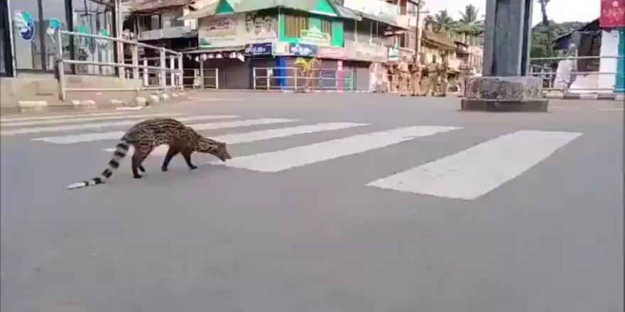 30 yıldır görünmeyen Misk kedisi yasağın ardından ortaya çıktı